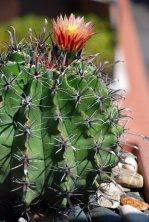 fiore-cactus