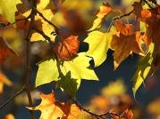foglie di platano in autunno